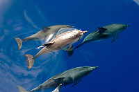 Atlantic spotted dolphins, Stenella frontalis, note barnacles on tail, Azores Islands, Portugal, North Atlantic