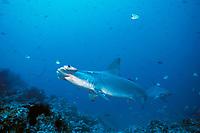scalloped hammerhead sharks, Sphyrna lewini, Cocos Island, Costa Rica, Pacific Ocean