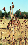 """Horse feeds in field with thistles Oregon, Fine art Photography and Stock Photography by Ronald T. Bennett Photography ©, FINE ART and  STOCK PHOTOGRAPHY FOR SALE,  CLICK ON  """"ADD TO CART"""" FOR PRICING. Fine Art Photography by Ron Bennett, Fine Art, Fine Art photography, Art Photography, Copyright RonBennettPhotography.com © Fine Art Photography by Ron Bennett, Fine Art, Fine Art photography, Art Photography, Copyright RonBennettPhotography.com ©"""