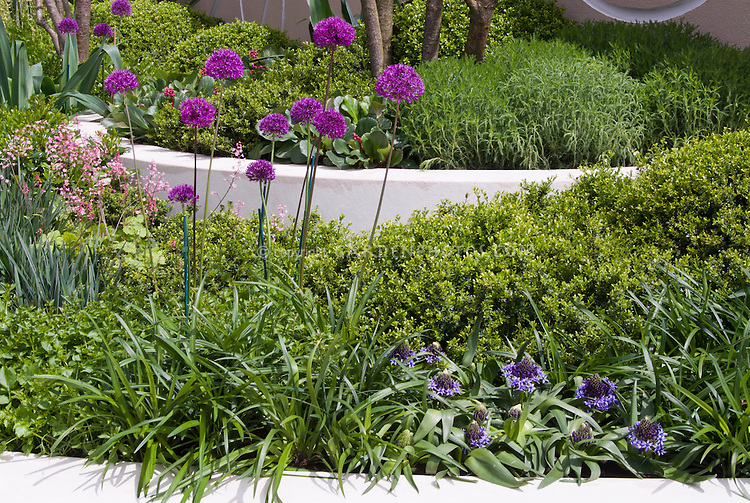 Allium and evergreen shrubs in raised beds, ornamental onions