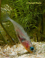 1S22-588z  Male Threespine Stickleback shaping nest by pushing plant materials with it mouth, mating colors showing bright red belly and blue eyes,  Gasterosteus aculeatus,  Hotel Lake British Columbia