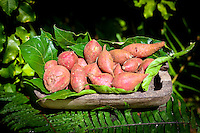 Organic sweet red potatoes ready for sale at Tauono's Plantation, Aitutaki Island, Cook Islands.