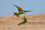 Blue cheeked bee eater courthship by Burak Dogansoysal