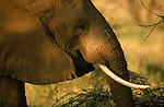Portrait of an Elephant in Kenya.