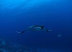 Manta Ray and Giant Travelly at reefs end molokini Maui Hawaii.