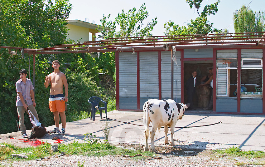 A road side butcher and street merchant. Slaughtering a goat outside. In the process of skinning it. A calf standing to the side waiting for its turn? Poshnje Albania, Balkan, Europe.
