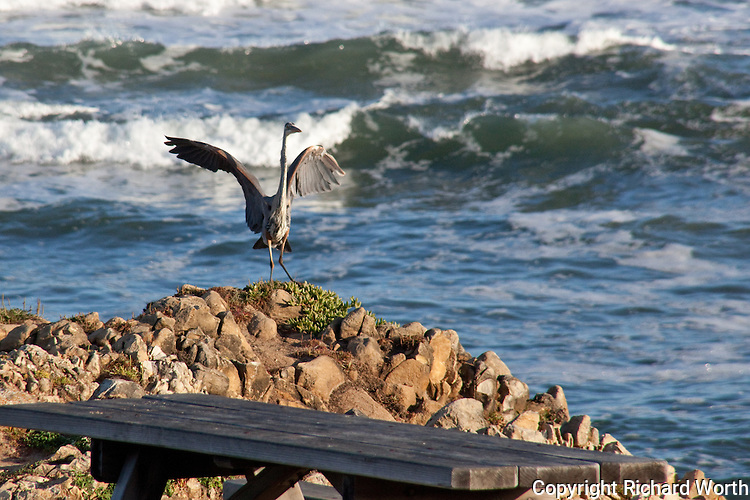 A Great Blue Heron lands on the rocky outcrop near a picnic table at Pescadero State Beach, California.