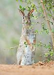 Texas, Rio Grande Valley, Desert Cottontail Rabbit (Sylvilagus audubonii)