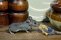 MU56-026z   Deer Mouse - immature young in kitchen  - Peromyscus maniculatus