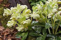Hellebore lividus 'White Marble' hellebore species in bloom