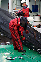 Deckhands removing North Atlantic Herring Clupea Harengus from net mesh during pelagic trawl on Research trawler, Barents sea, Arctic, North east Atlantic