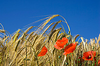 Barley field with poppies, Hordeum distichum