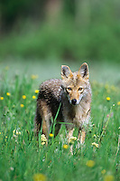 Coyote (Canis latrans) in meadow, Western U.S., summer.