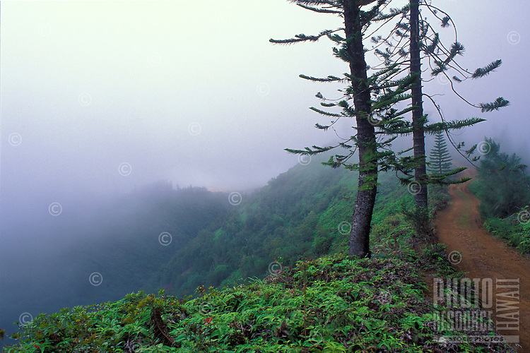 Historic Munro Trail with Cook Pine trees and mist near Lanai City, also called Lanai Hale