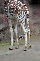 Speke's Gazelle (Gazella spekei) and Giraffe. Portlans Zoo. Oregon