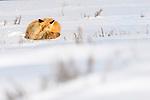 Adult red fox (Vulpes vulpes) sleeping on snow. Hayden Valley, Yellowstone, USA. January