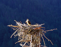 A00013M.tif   Osprey in nest of dead tree. Quake Lake, Montana