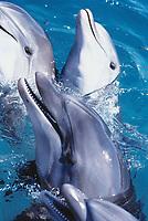Bottlenose Dolphins, Tursiops truncatus, Dolphin Reef, Eilat, Israel, Red Sea.