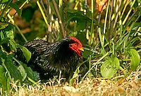 Black hen lying in grasses