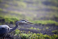 A Great Blue Heron has spotted a small mammal is about to strike.