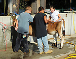 Children washing their heifers at Cheshire Fair in Swanzey, New Hampshire USA