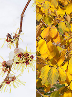 Hamamelis Pallida witchhazel in flower in winter snow and in autumn foliage color