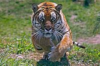 Animais. Mamiferos.Tigre (Panthera tigris). SP. Foto de Caetano Barreira.