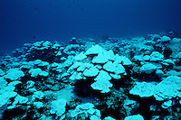"Elevated water temperatures from an El Nino can kill much of the coral, leaving behind only the ""bleached"" white coral skeleton, Cocos Island, Pacific Ocean"