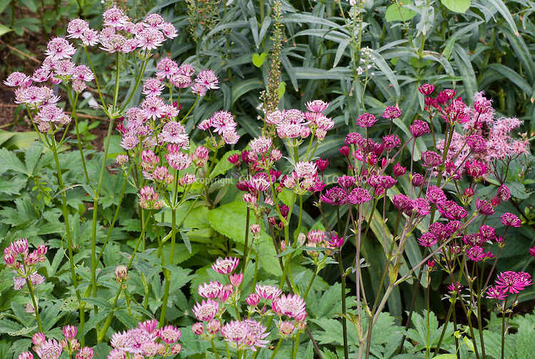 Astrantia Hadspen Blood with red flowers + pink seedling, two colors planted together