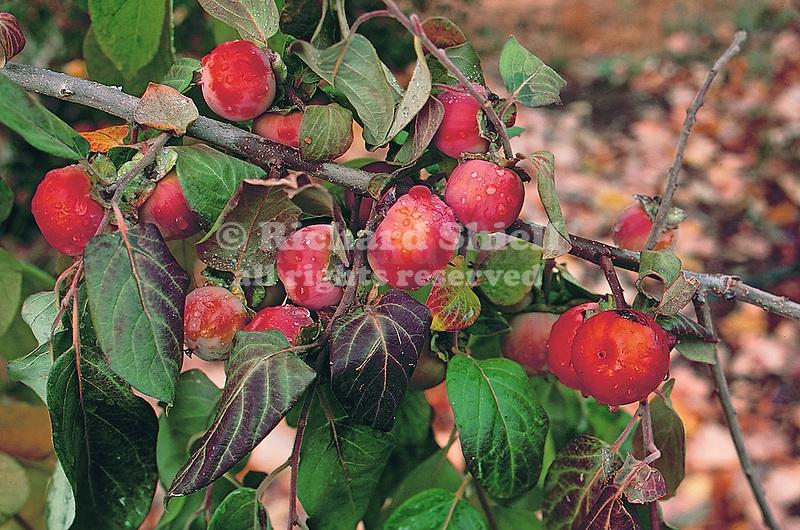 13984-CS American Persimmon, Diospyros virginiana, female tree, branch in fruit in October, at Mourning Cloak Ranch, Tehachapi, CA. USA.