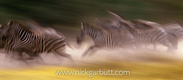 Plains Zebra (Equus quagga burchelli) running during migration. Serengeti National Park, Tanzania.
