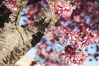 Stock photo - bunch of pink cherry blossom flowers hanging on delicate stem from above the tree.
