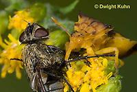 AM02-562z   Ambush Bug female, feeding on fly prey with long sharp beak, Phymata americana