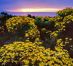 Dawn, Coreopsis, Point Dume State Reserve, Malibu, California