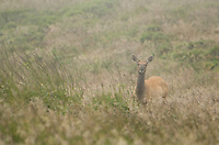 Female tule elk, Cervus elaphus nannodes, in fog at Point Reyes National Seashore, California