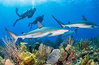 Caribbean reef shark, Carcharhinus pereziii, scuba diver, coral reef, Gardens of the Queen, Jardines de la Reina, Jardines de la Reina National Park, Cuba, Caribbean Sea, Atlantic Ocean