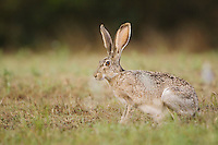 Black-tailed Jackrabbit, Lepus californicus, adult, Uvalde County, Hill Country, Texas, USA, April 2006