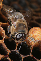 Drones are the only males of the colony which counts a few hundreds of them. They are larger, rounder and hairier thatn workers and do not have a stinger. They live in the beehive from spring to the end of summer. They are in charge of fecundating the queen.