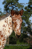 Bob, ANIMALS, REALISTISCHE TIERE, ANIMALES REALISTICOS, horses, photos+++++,GBLA4407,#a#, EVERYDAY