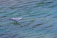 Grey heron (Ardea cinerea) Yala National Park, Sri Lanka