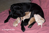 SH36-542z Black Lab Mother and new born litter. Genetic variation of black, yellow and white puppies, Labrador Retriever.