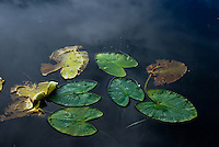 Lily pads floating on blue water with clouds reflecting.
