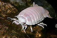 Giant Isopod (Bathynomus giganteus) (c) A deep,cold water dwelling animal of the Arctic and Pacific Oceans (c)