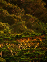 Abizia Trees in last light of day. Maui, Hawaii