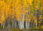 Gunnison National Forest, West Elk Mountains, CO: Aspen grove in fall