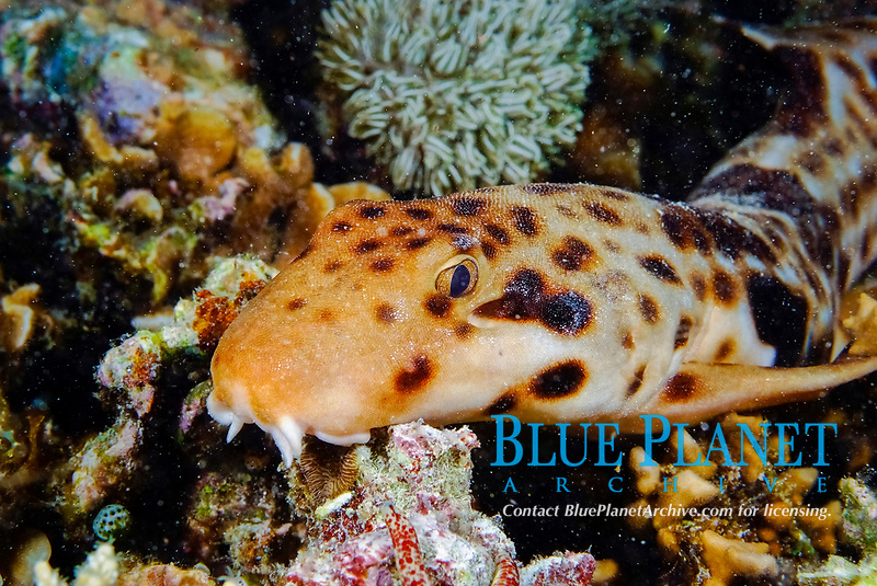 Rare raja epaulette shark, hemiscylliium freycineti. Grows to 72cm. Brown with numerous brown spots on rear head and body. Solitary. Rests on bottom of sheltered reefs to 4m. Localised. Raja Ampat, West Papua, Indonesia