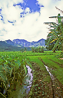 Hanalei Valley taro fields at Hanalei National Wildlife Refuge, North Shore, Kauai; habitat for endangered waterbirds