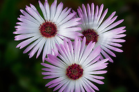 Close up of Livingstone Daisy.