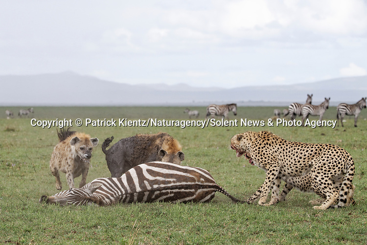 NOTE FOR ONLINE:  MAXIMUM OF 10 IMAGES TO BE USED FROM SET - UNLESS OTHERWISE AGREED.<br /> <br /> Sequence 13 of 16:  Cheetahs are forced to sit and watch hyenas eat their hard-fought kill after they arrived late and claimed it for their own.  The unlucky coalition of five cheetahs spent 30 minutes hunting and killing the zebra at the Masai Mara National Reserve, Kenya.<br /> <br /> But, just as the group of siblings were about to eat their prey, opportunistic hyenas arrived and claimed the carcass as their own. SEE OUR COPY FOR DETAILS.<br /> <br /> Please byline: Patrick Kientz/Naturagency/Solent News<br /> <br /> © Patrick Kientz/Naturagency/Solent News & Photo Agency<br /> UK +44 (0) 2380 458800