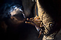 Cave Cricket female (Troglophilus cavicola) on the side of a stalactite in a limestone cave. Slovenia. March.